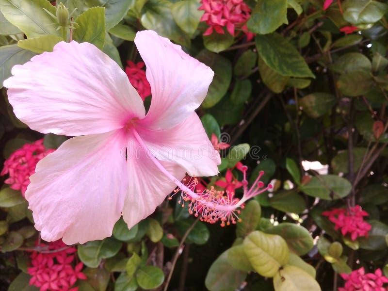 Zachte roze hibiscus in een tuin royalty-vrije stock afbeeldingen