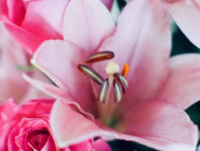 Zachte roze lelie stock fotografie