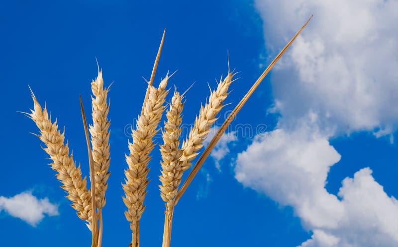 Zachte tarweoren Droog korreldetail op een blauwe hemelachtergrond Triticum aestivum stock foto