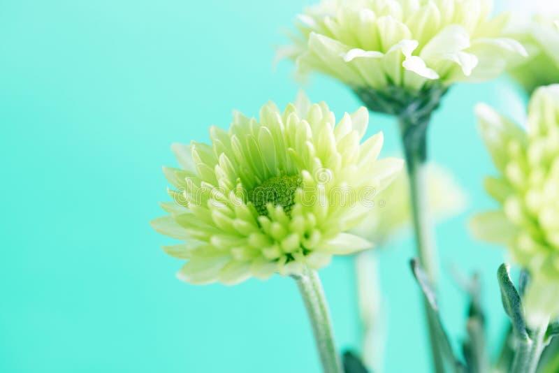 Zachte verse groene Chrysantenbloem voor liefde romantische dromerig stock afbeeldingen