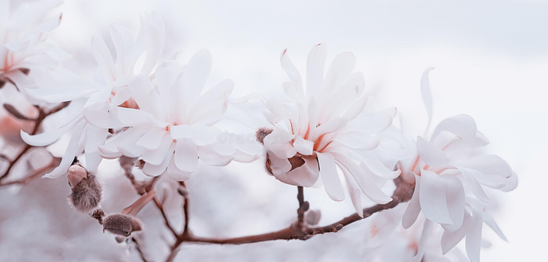 Zachte witte en roze magnolia's hoog sleutel royalty-vrije stock fotografie