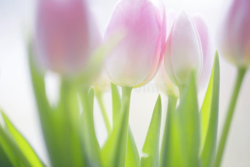 Zachte zachte roze gekleurde de lentetulpen royalty-vrije stock foto