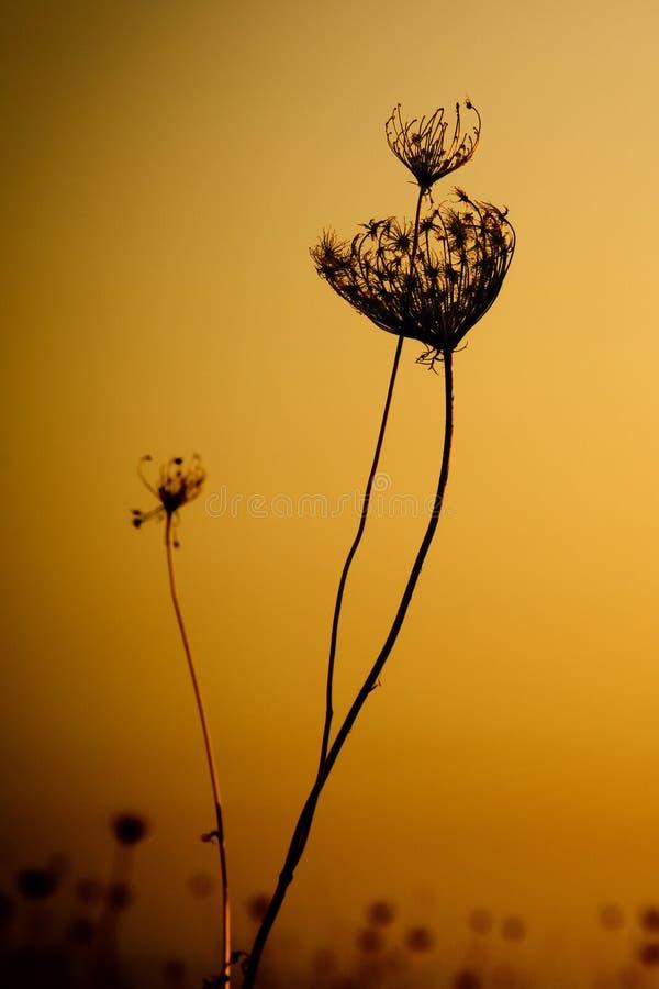 Zachwaszczona roślina Przeciw zmierzchowi zdjęcie royalty free