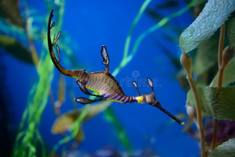 Zachwaszczony seadragon zdjęcie royalty free