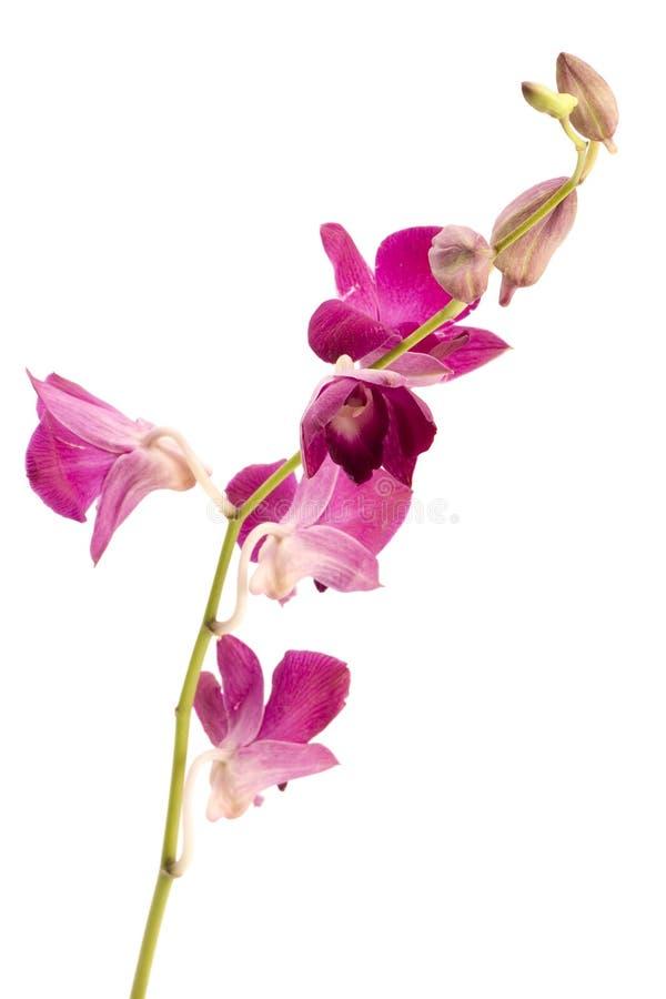 Zacken Sie Orchidee aus stockfotos