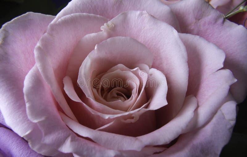 Zacken Sie rosafarbenes Makro aus stockbild