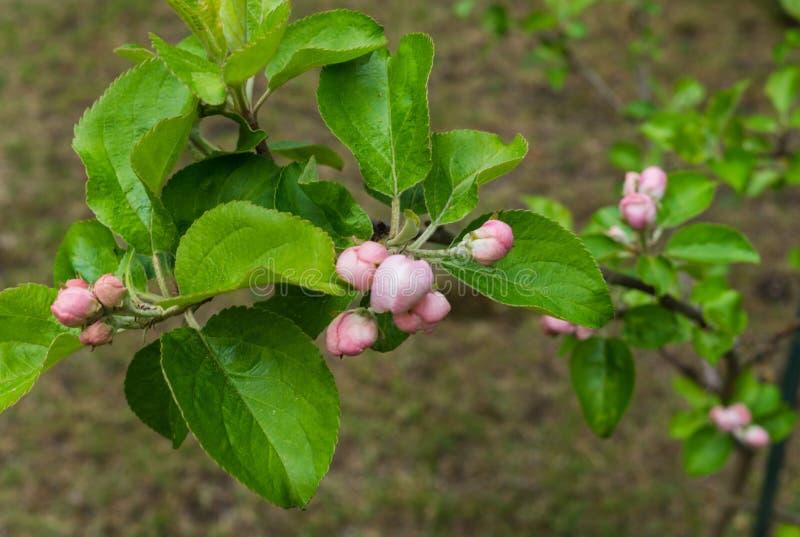 Zaczynać kwitnąć różowych kwiaty jabłko Unblown kwiatów pączki jabłko obraz stock