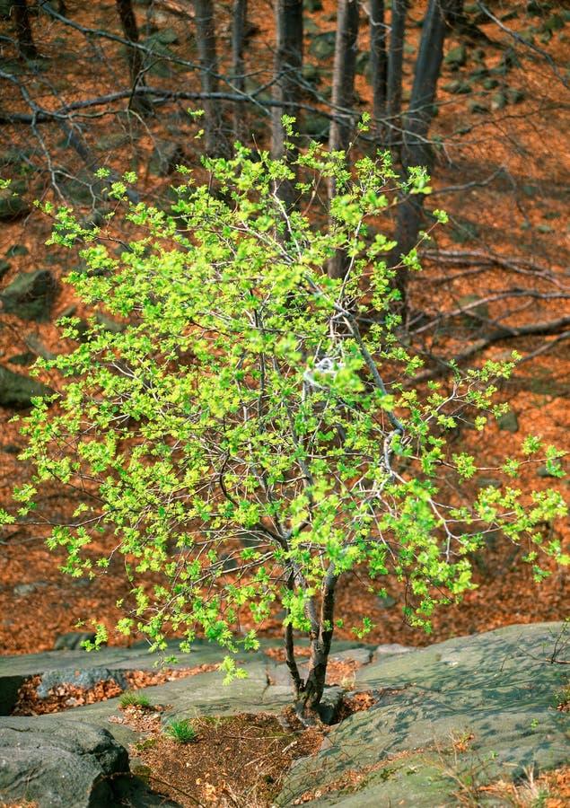 Zaczynać wiosna w drewnach obraz stock
