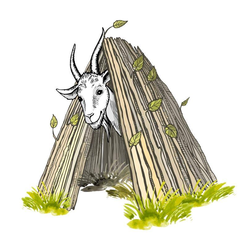 Zadawalająca biała kózka z rogami i brodą, patrzeje z budy Barwiony ręcznie malowany wektorowy rysunek royalty ilustracja