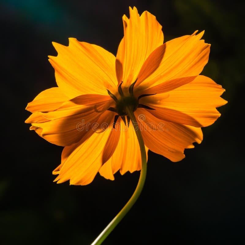 Zadek makro- strzału żółty kwiat na czarnym tle obrazy stock