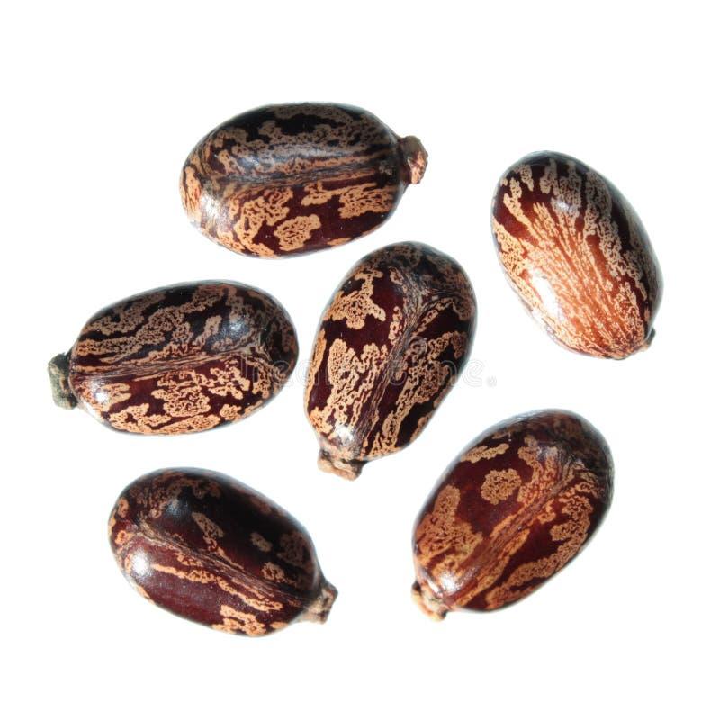 Zaden van Bever Bean Plant of Ricinus communis op witte achtergrond stock foto