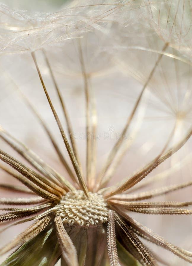 Zaden van de bloem van de vloekbaard, Tragopogon-dubius of schorseneer Abstracte natuurlijke achtergrond stock afbeeldingen