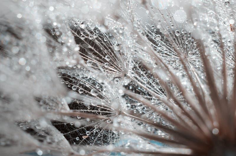 Zaden van de bloem van de vloekbaard, Tragopogon-dubius of schorseneer Abstracte natuurlijke achtergrond stock afbeelding
