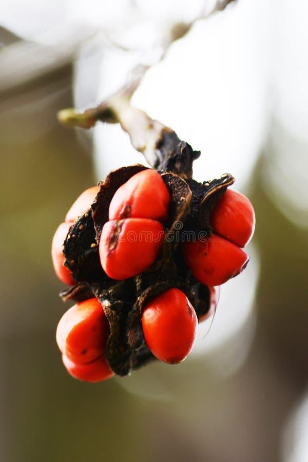 Zaden van Magnoliakobus stock afbeelding