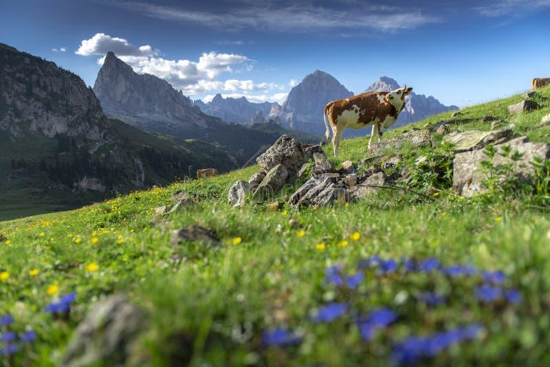 Zadziwiać krajobrazu widok zieleni krowa na halnym tle na lecie od dolomitów i pole, Włochy zdjęcie royalty free