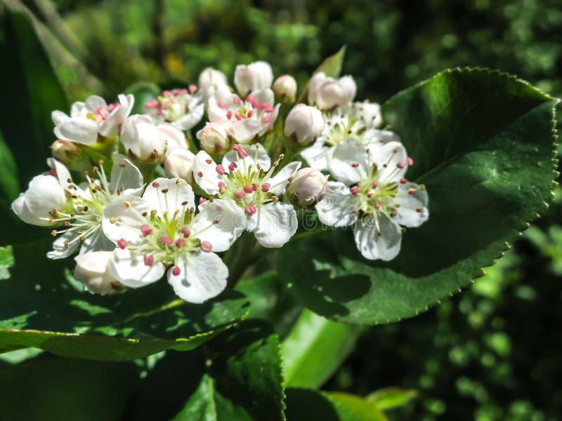 Zadziwiający okwitnięcia Głogowi Crataegus submollis lub Maja Kwitnie Makro- delikatny kwiatostan na ciemnozielonym tle t obrazy royalty free