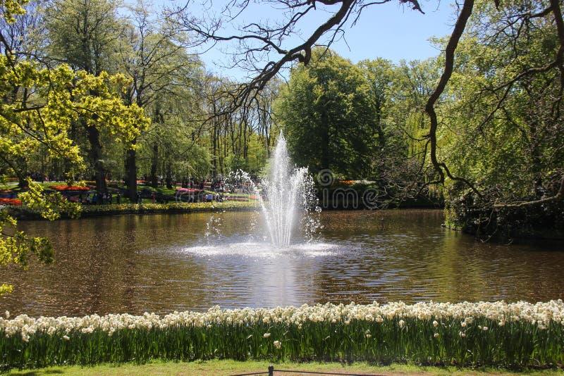 Zadziwiający wiosna czas w Keukenhof kwiatu ogródzie Fontanna w środku jezioro w słonecznym dniu Rząd piękni daffodils fotografia royalty free