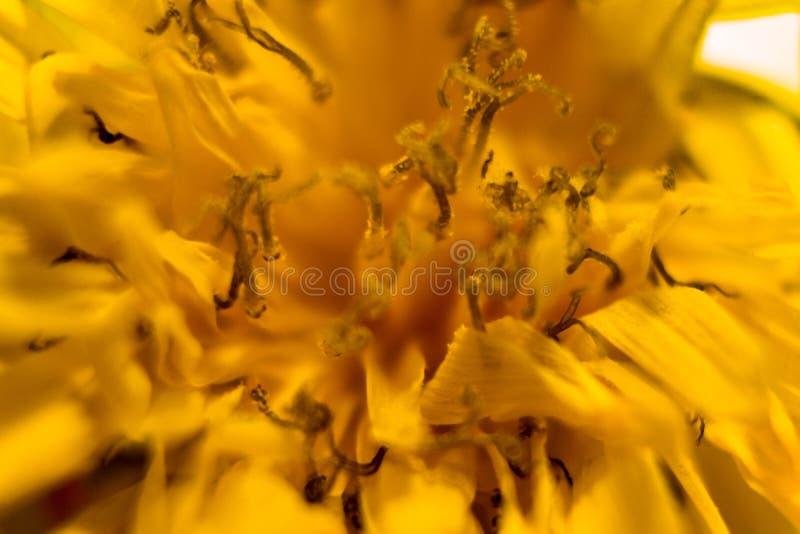 Zadziwiający zakończenie w górę makro- strzału żółty kwiat obraz royalty free