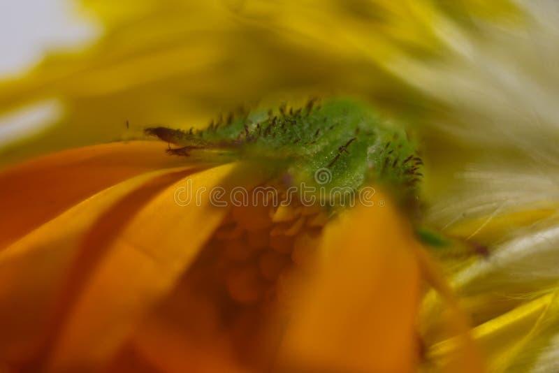 Zadziwiający zakończenie w górę makro- strzału żółty kwiat obrazy stock