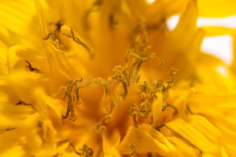 Zadziwiający zakończenie w górę makro- strzału żółty kwiat zdjęcia stock