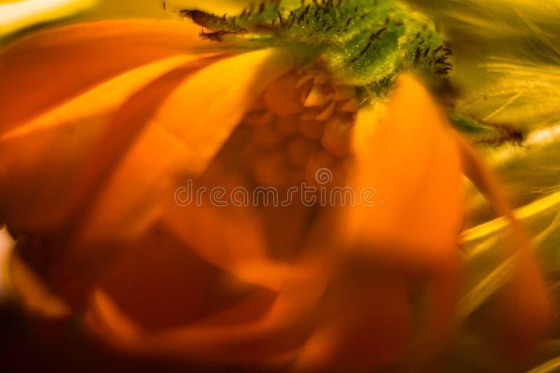 Zadziwiający zakończenie w górę makro- strzału żółty kwiat obraz stock