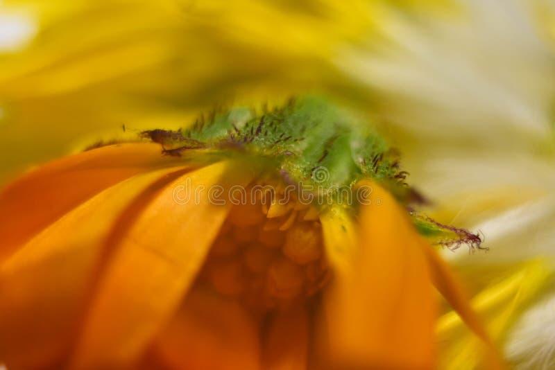 Zadziwiający zakończenie w górę makro- strzału żółty kwiat zdjęcia royalty free