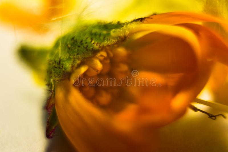 Zadziwiający zakończenie w górę makro- strzału żółty kwiat zdjęcie stock