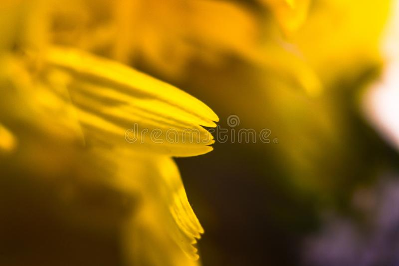 Zadziwiający zakończenie w górę makro- strzału żółty kwiat fotografia stock