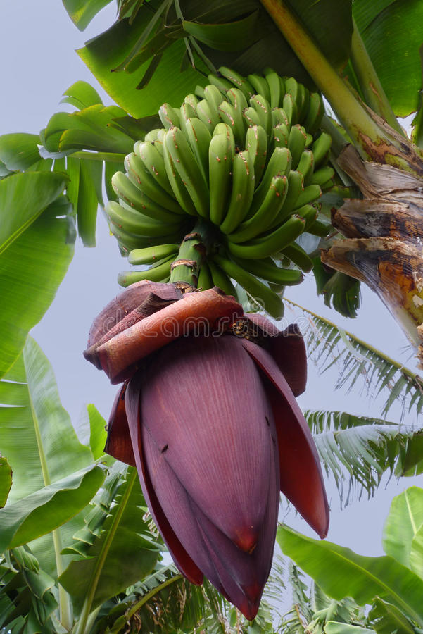 Zadziwiająca Kwiatonośna Bananowa roślina zdjęcia royalty free