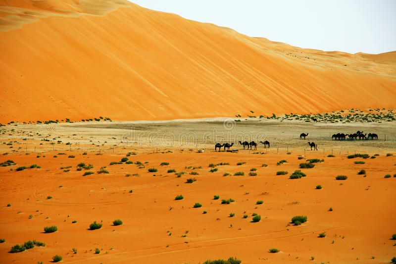 Zadziwiające piasek diuny formacje i wielbłądy w Liwa oazie, Zjednoczone Emiraty Arabskie obraz royalty free