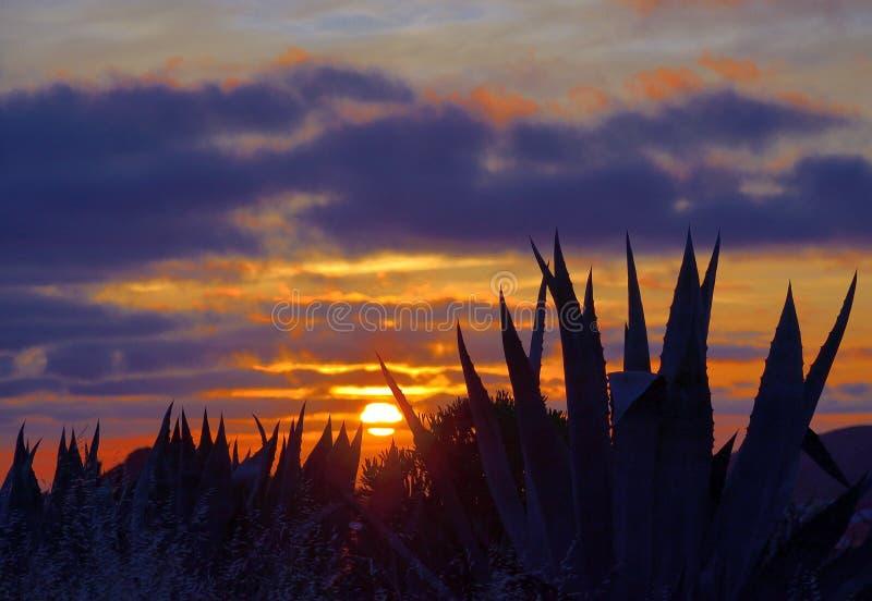 Zadziwiający świt z agaw roślinami zdjęcia stock