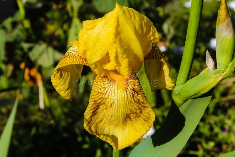 Zadziwiający żółty irys zdjęcie stock