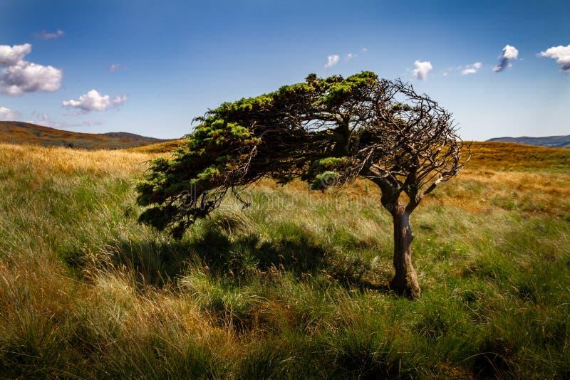 Zadziwiający drzewo zginał wiatrem w polu fotografia royalty free