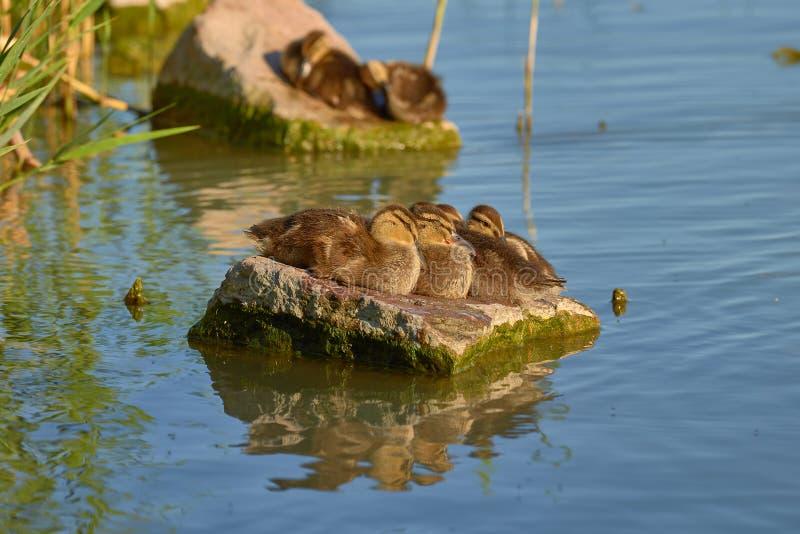 Zadziwiający dzikich kaczek kurczątka na skale w jeziornym Balaton w Węgry zdjęcia royalty free