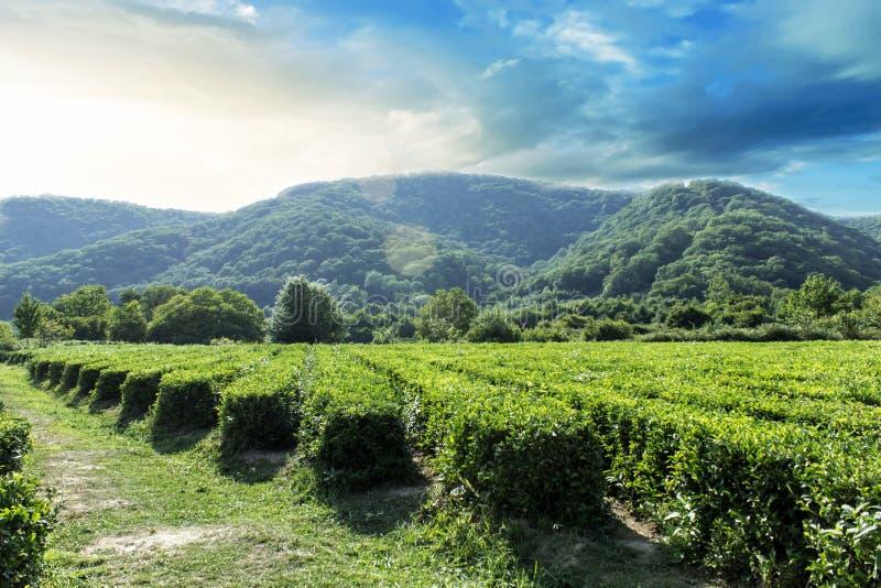 Zadziwiający krajobrazowy widok herbaciana plantacja w słonecznym dniu Natury t?o z niebieskim niebem i mg?owy obraz royalty free
