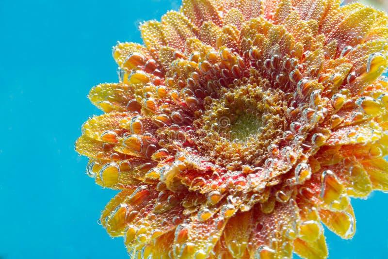 Zadziwiający makro- strzał gerbera stokrotki kwiat w wodzie z bąblami na błękitnym tle fotografia stock
