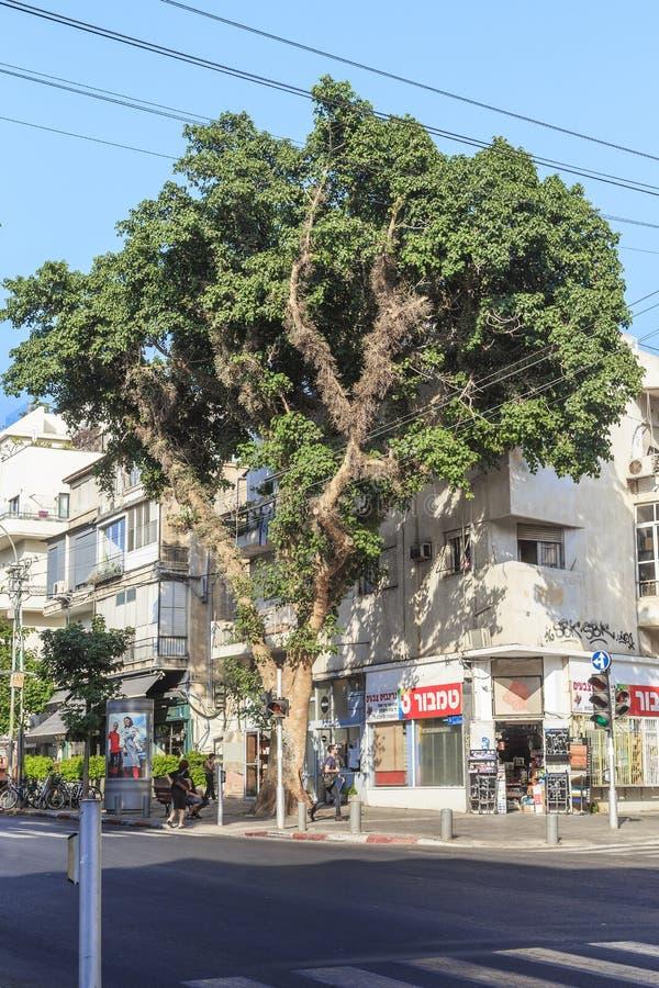 Zadziwiający niezwykli drzewa Izrael zdjęcie royalty free