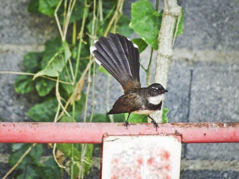Zadziwiający pawi flycatcher ptak jak paw, zdjęcie stock