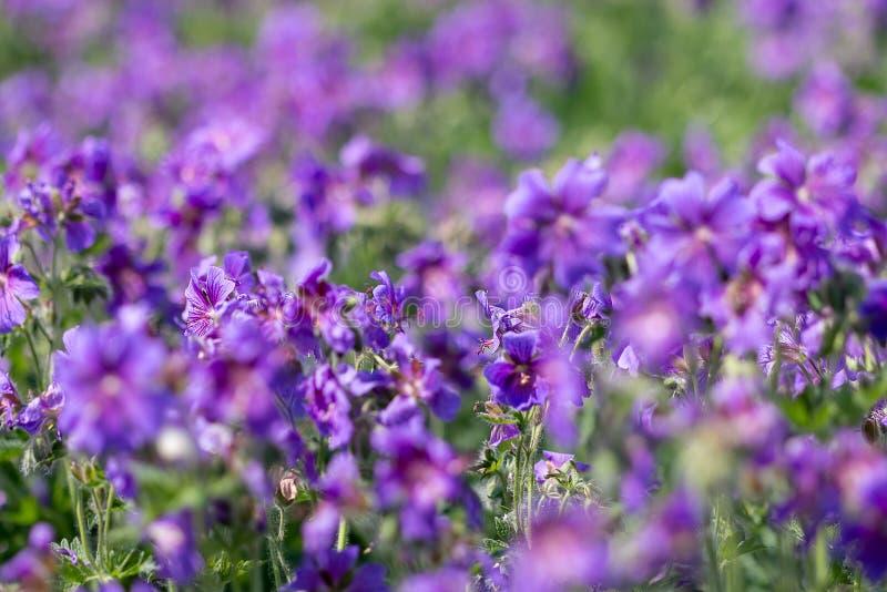 Zadziwiający purpura kwiaty fotografia royalty free