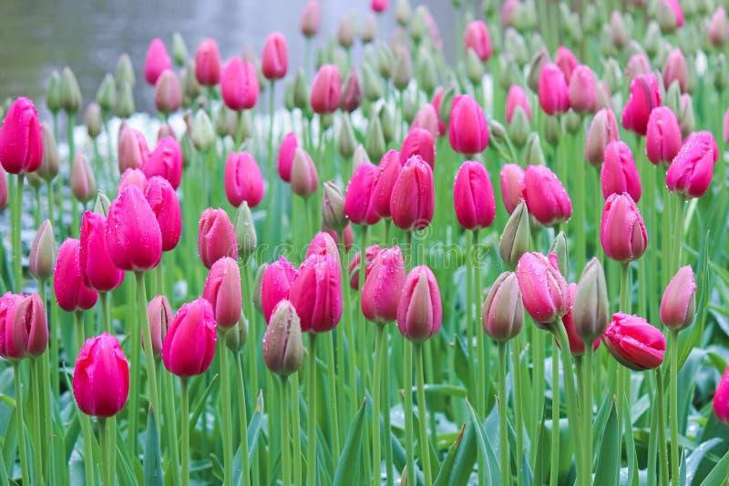 Zadziwiający różowy tulipan na ponurym ranku w mgle i deszczu Krople na kolorowych płatkach pi?kna natury Smutny, smucenie, natur obrazy royalty free