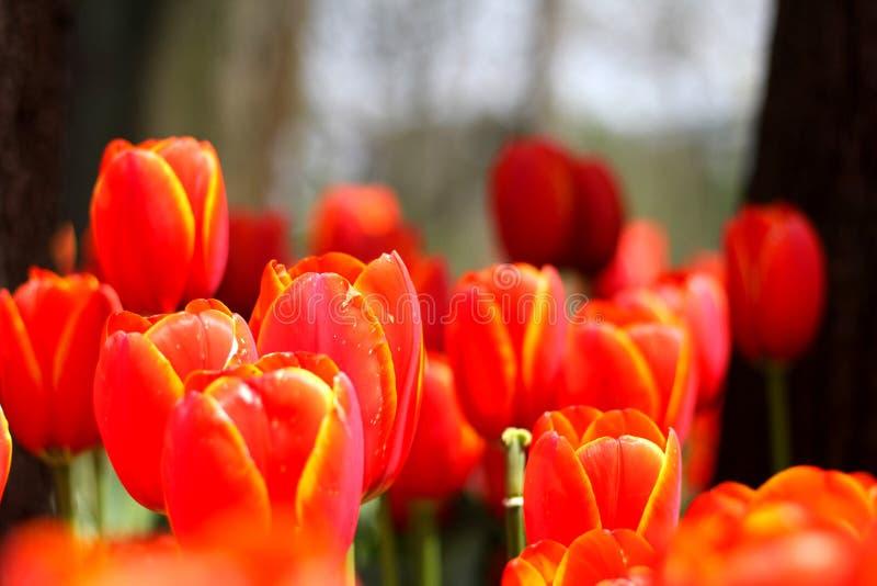 Zadziwiający rewolucjonistki i koloru żółtego Tulipanowi kwiaty zdjęcie stock