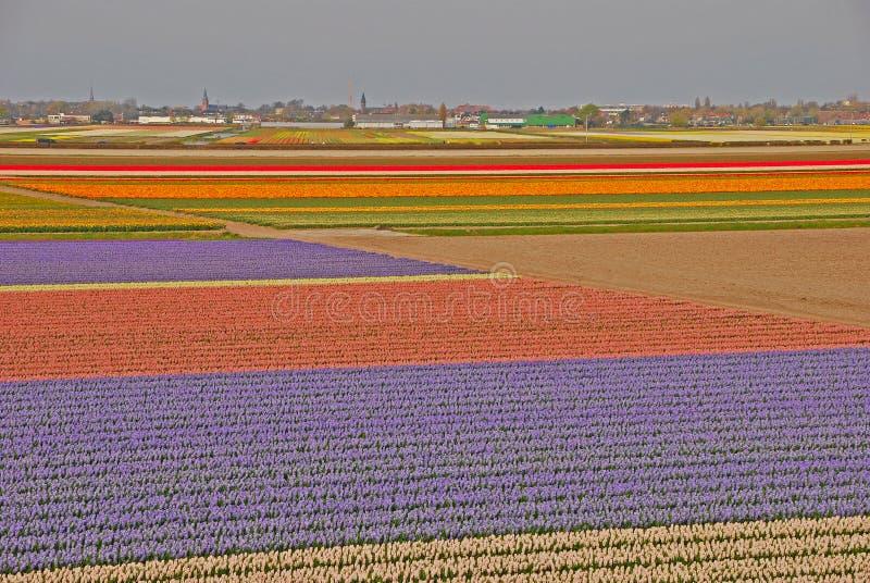 Zadziwiający Szerocy pola tulipany poza miasteczko zdjęcie stock