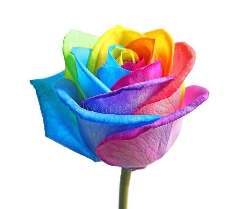 Zadziwiający tęczy róży kwiat obraz stock