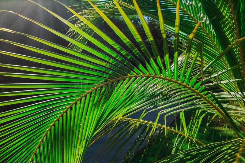 Zadziwiający zbliżenie wyszczególniający widok naturalny zielony palmowy liść, zaświecający słońce promieniami w tropikalnym ogró fotografia royalty free