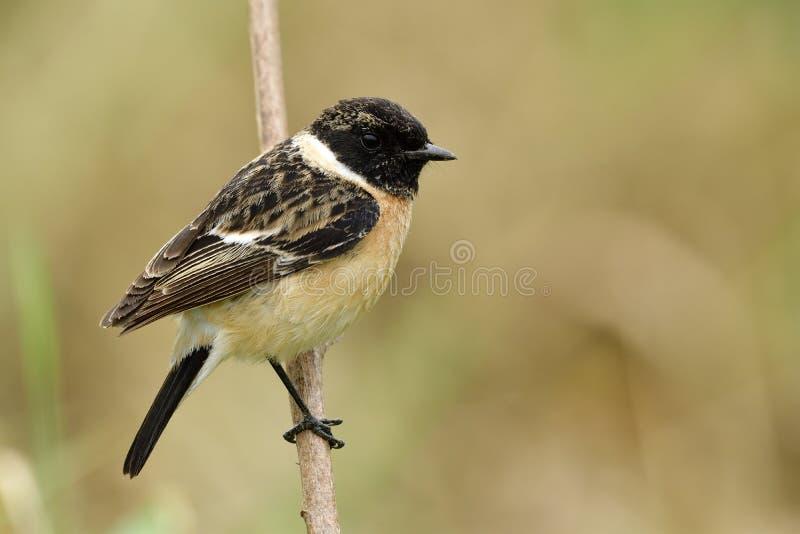 Zadziwiający zwierzęcia, Syberyjskiego lub Azjatyckiego stonechat ine brązu pyzaty ptak z czerni głowy tyczeniem na trawa kiju na zdjęcie royalty free
