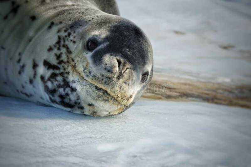 Zadziwiający zwierzęta Antarctica fotografia royalty free