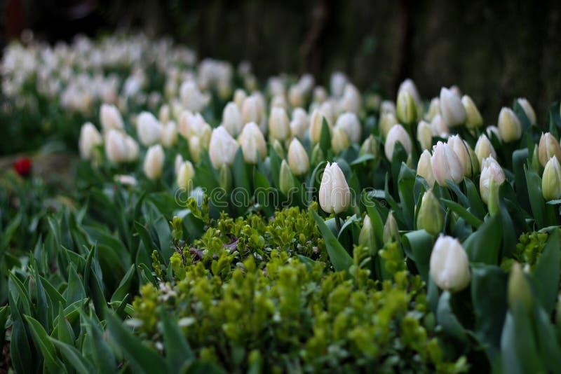 Zadziwiaj?cy tulipan?w kwiaty obrazy stock