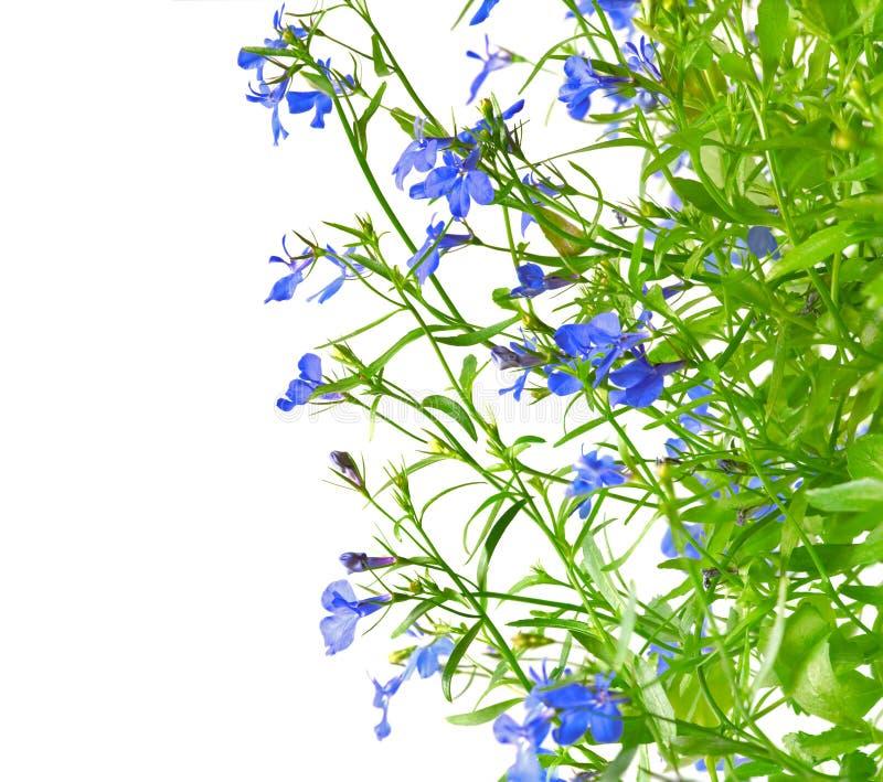Zaffiro di Erinus di Lobelia fotografie stock