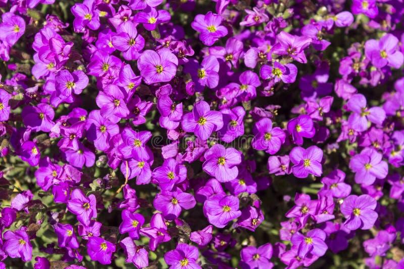 Zaffiro di trascinamento porpora sbocciato di /Lobelia Erinus dei fiori di Lobelia o Lobelia di bordo in un giorno di molla fotografie stock