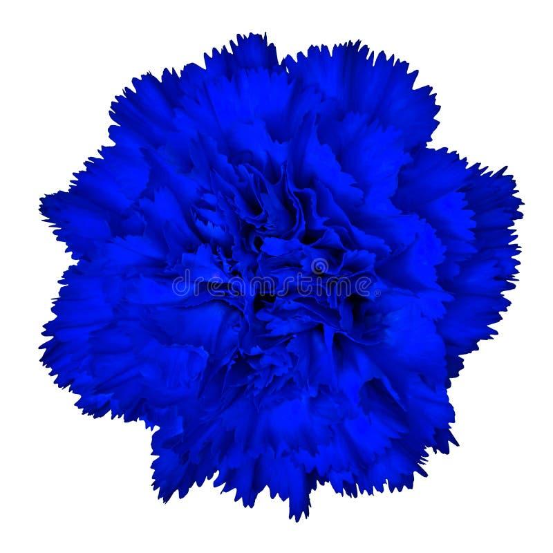 Zaffre goździka kwiat odizolowywający na białym tle Zakończenie obraz stock